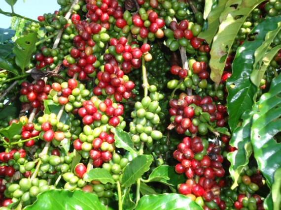 Produção rondoniense de café abastece indústrias multinacionais