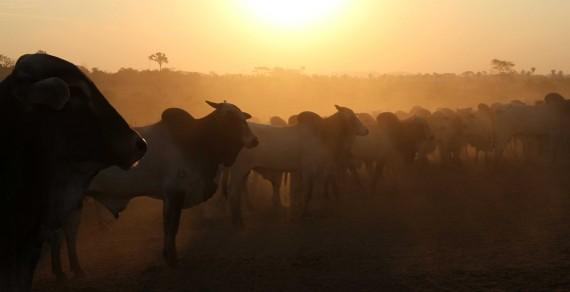 Vacinação do gado contra febre aftosa garante qualidade da carne produzida em Rondônia.