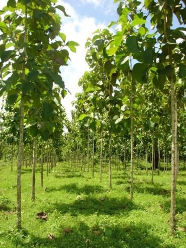 Floresta Plantada da espécie teca