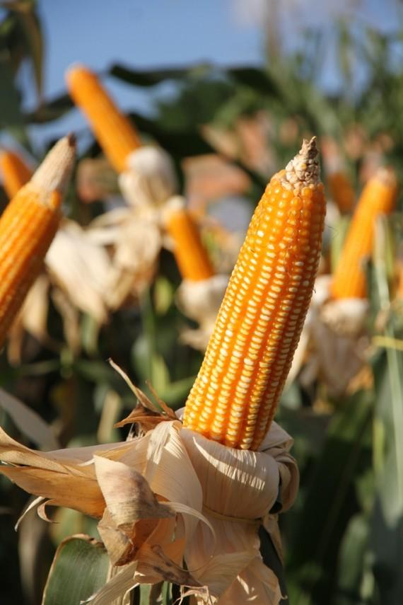 Produção de milho foi a que mais contribuiu com o valor bruto