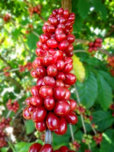 A cultivar BRS Ouro Preto foi desenvolvida pela Embrapa especialmente para as condições de Rondônia