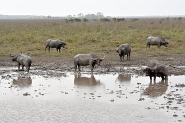Búfalos alteram cursos de rios e provocam desequilibrio ecológico.