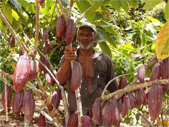 Cacaueiro revitalizado com enxerto de variedade modificada geneticamente