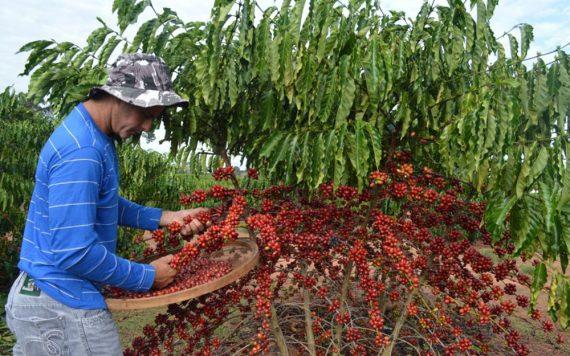 Conab projeta aumento de 13% a 21% na produção da safra de café de 2017 para Rondônia