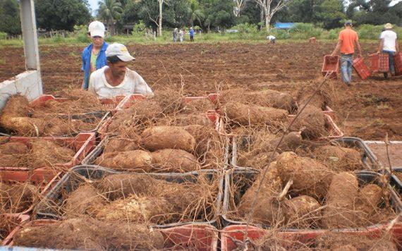 A produção de inhame em Rondônia cresce a cada ano.