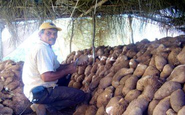 agricultores-familiares-investem-no-cultivo-de-inhame_006-fotos-emater-ro