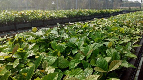 Nestaprimeira etapa os produtores de café de Andreazza vão receber as primeiras 185 mil mudas de café clonal