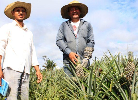 Plantação de abacaxi se destaca na Linha General Carneiro, em Itapuã do Oeste
